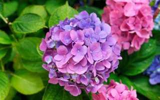 БАД с экстрактом гортензии – 14 полезных свойств