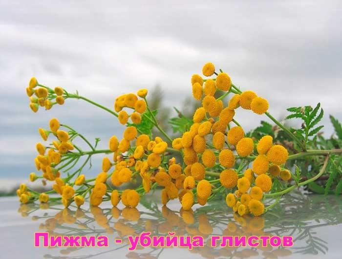 pizhma-ot-glistov