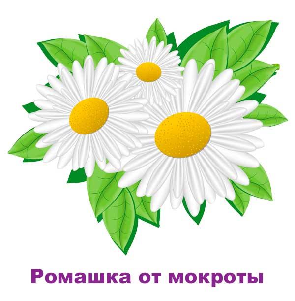 romashka-ot-mokroty